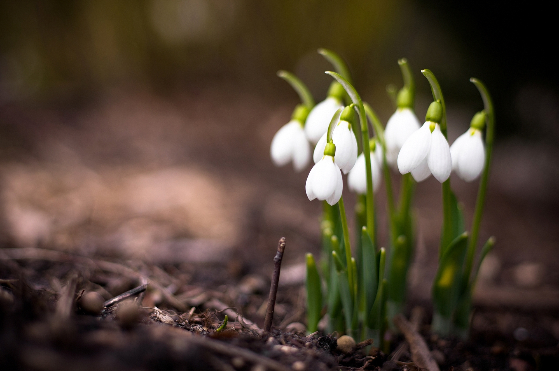nature-plants-flowers-spring-snowdrops-macro-photos